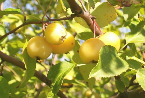 Photo of Yellow Crabapples in tree
