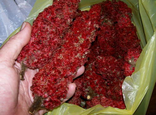 photo showing a few of the 20 pods I used to make almost a gallon of concentrated sumac juice.