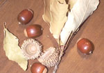 Sawtooth Oak Acorns, sold by the pound.