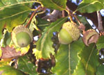 Swamp White Oak Acorns, sold by the pound.