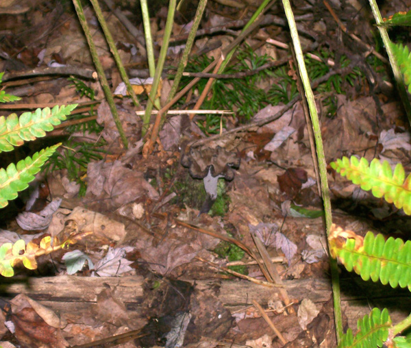 Photo of a Craterellus fallax - Black Trumpet growing under the ferns - showing hiding ability