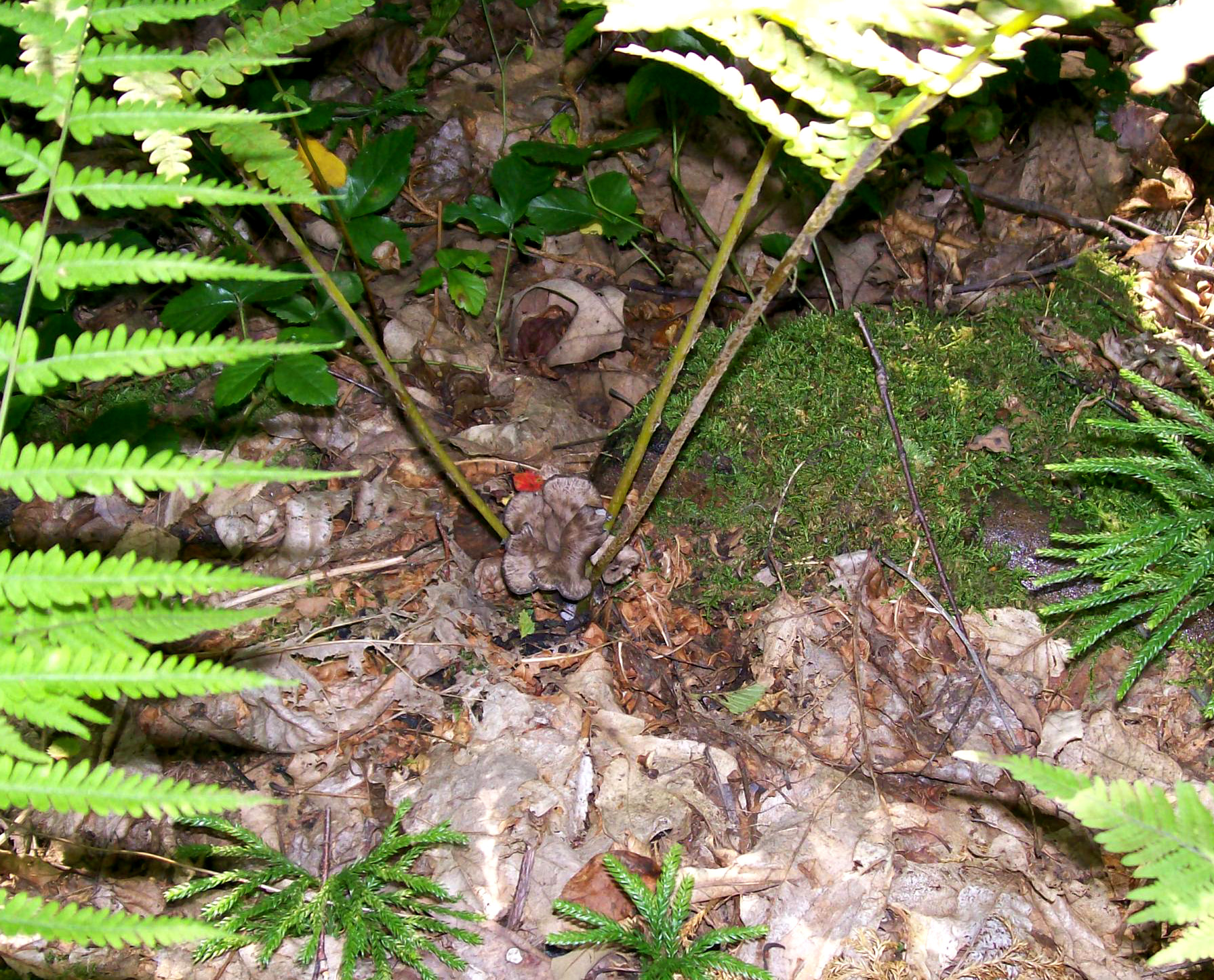 Photo of a Craterellus fallax - Black Trumpet growing between stems of fern fronds - showing that they can be anywhere