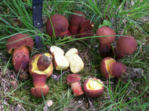 Photo of a group of Two-colored Boletes - Boletus bicolor