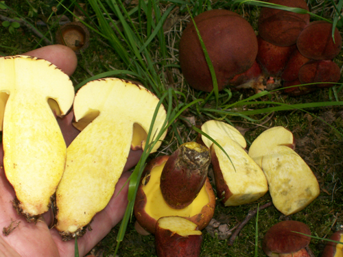 Photo of halves of a Two-colored Bolete showing the yellow color throughout and non changing color - Boletus bicolor