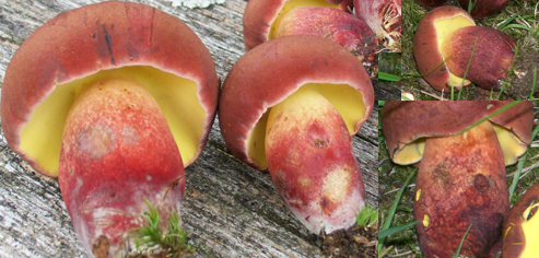 Photo of Two-colored Boletes highlighting the stems color and structure - Boletus bicolor