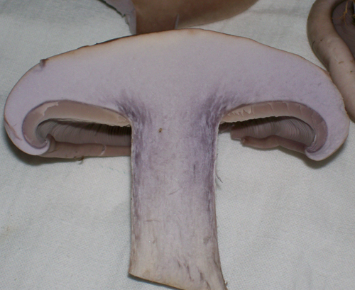 Photo of a blewit cut in half from top to bottom showing stalk, gill and flesh detail.