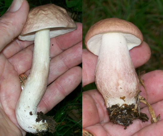 Photo showing two different styles of stems / stalks / stipes on Boletus separans / Xanthoconium separans mushrooms