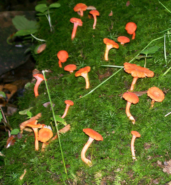 Close-up photo of Cantharellus cinnabarinus - Red Chanterelles mushrooms growing in moss along creek bank