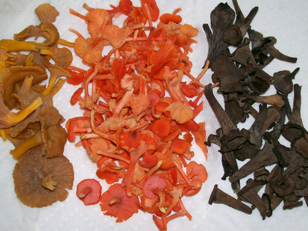 Photo of three varieties of 'small' chanterelles. From left to right, Cantharellus ignicolor, Cantharellus cinnabarinus and Craterellus cornucopiodes
