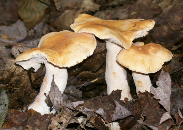 Photo of three Little Sweet Tooth mushrooms - Dentinum umbilicatum
