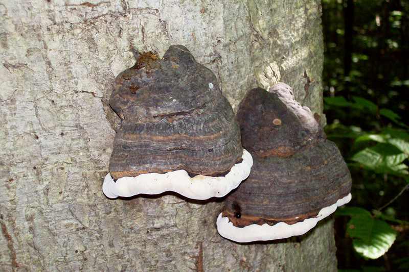 Photo of two healthy tinder fungus mushrooms showing active growth ring - Fomes fomentarius