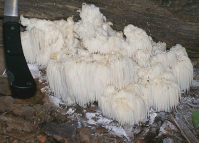 Photo of Hericium americanum - larger size