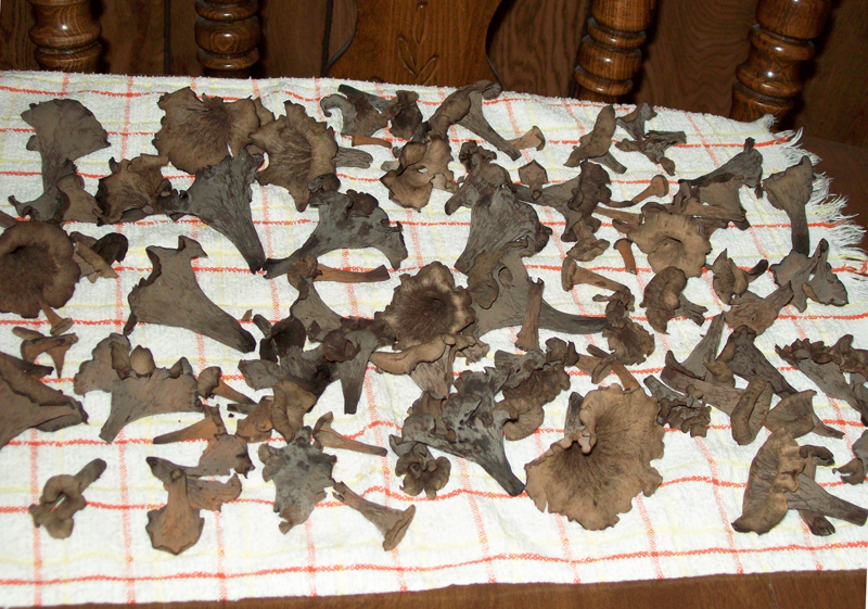 'Before' photo of a bounty of Craterellus cornucopioides set on towel to dry overnight - Horn of Plenty