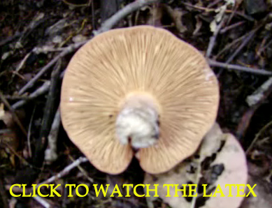 Photo of a Lactarius corrugis. Photo is an intro to a video depicting the copious nature of the white latex - Corrugated Cap Milky