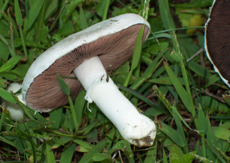 Close-up photo showing stem and annulus - Agaricus compestris