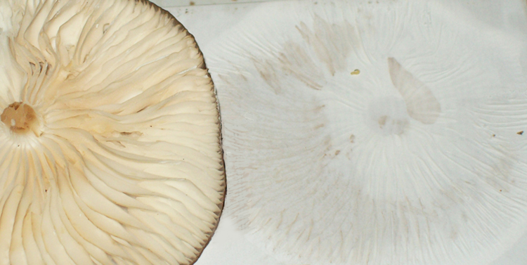 Photo of a Rooted Oudemansiella spore print - Oudemansiella radicata