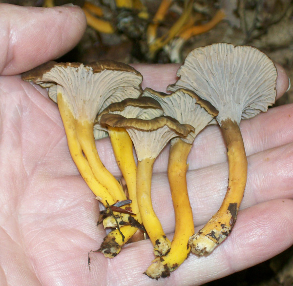 Photo of a couple of Winter Chanterelles - Cantharellus tubaeformis