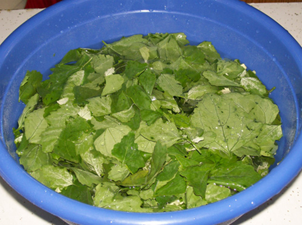 Photo showing lambsquarter leaves soaking in water in preparation to getting washed.