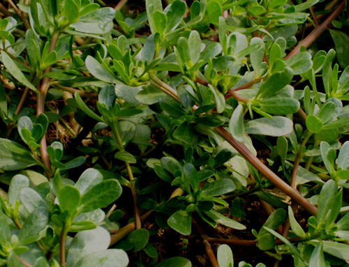 Photo of Common Purslane In the Garden - very close