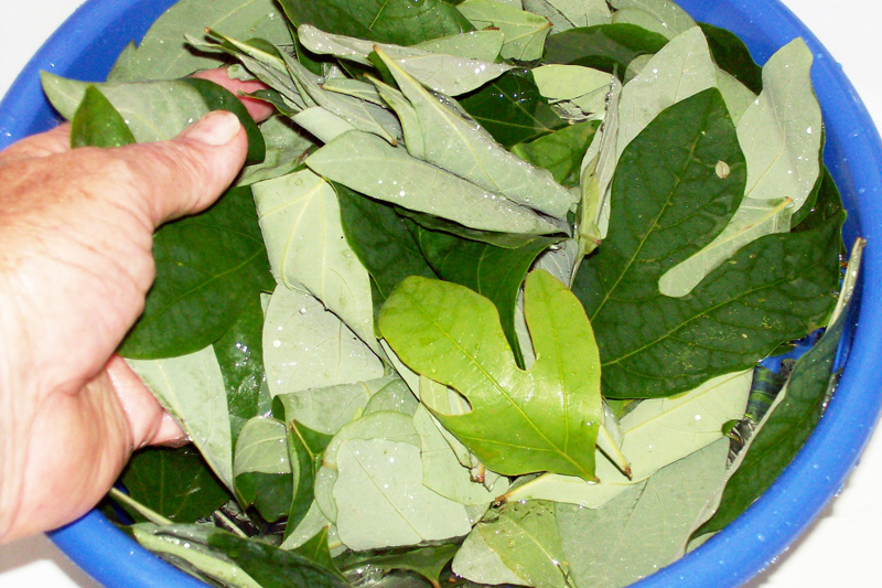 Photo showing sassafras leaves being washed.