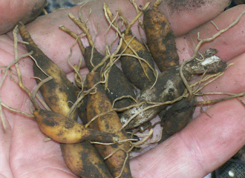 photo showing a group of Daylily tubers.