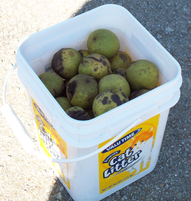 Photo showing a bucket of Black Walnuts.