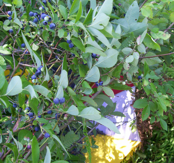 Close up photo of a bunch of highbush blueberry bush branches bent over the topsy-turvy umbrella