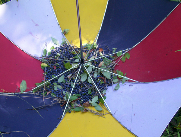 Close up photo of a bunch of highbush blueberries caught in an upside-down umbrella
