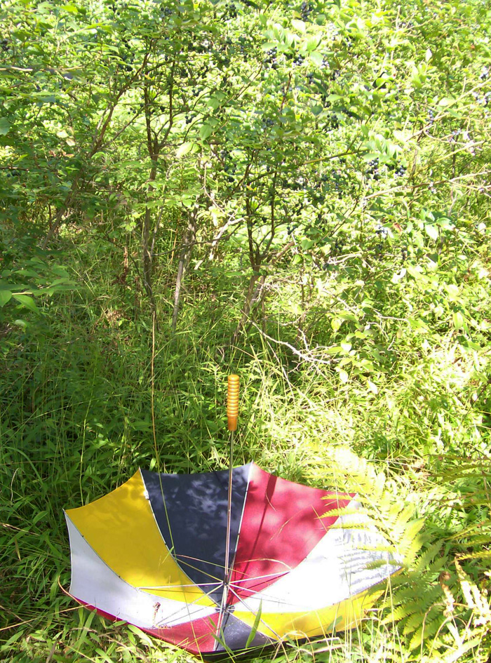 Photo of the umbrella placed upside-down near a bush with many ripe blueberries